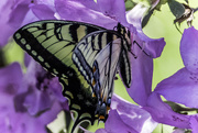 16th May 2017 - Return of the Swallowtail