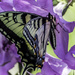 Return of the Swallowtail
