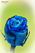 18th May 2017 - Blue rose