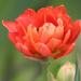 My Garden Tulip