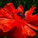 Poppy  by gq