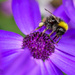 Bee And Senetti Flower (best viewed large) by carolmw