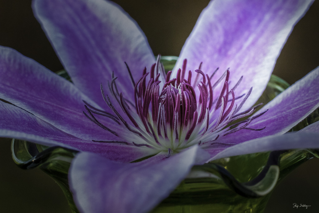 Nelly Moser Clematis by skipt07