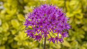 19th May 2017 - Allium