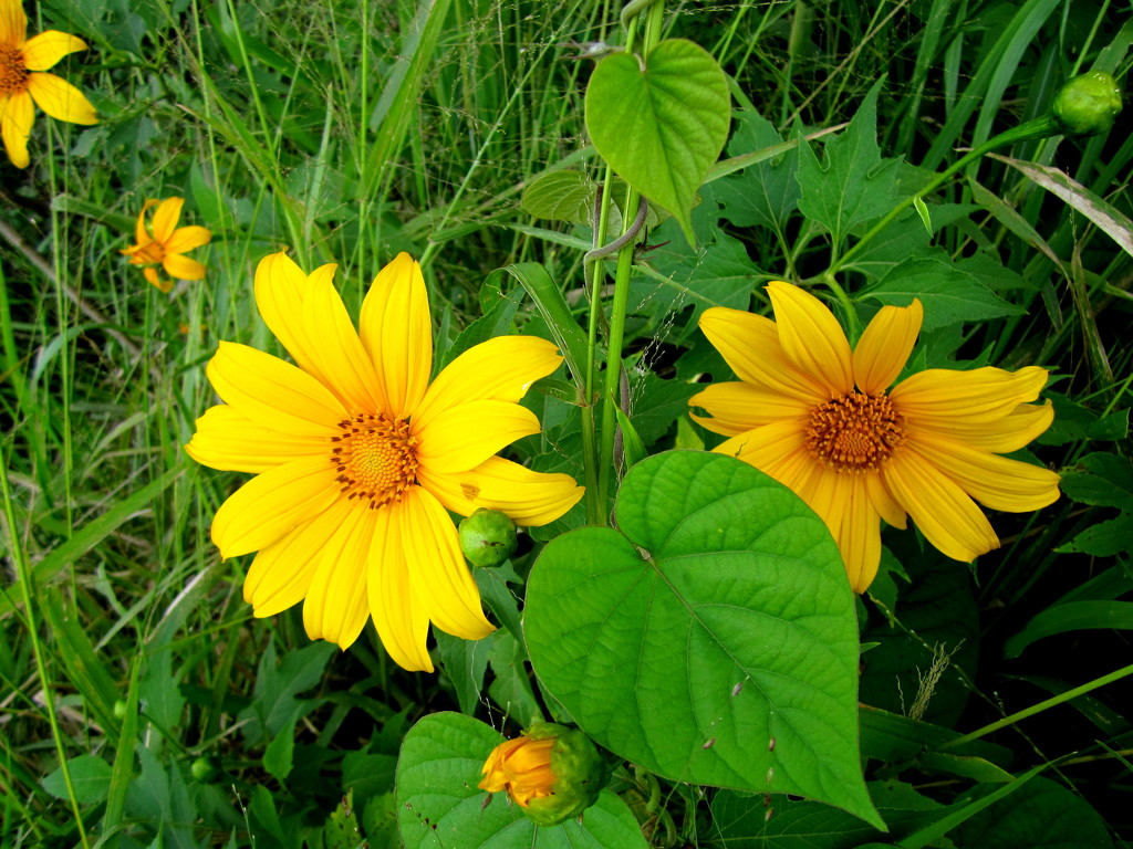 Japanese Daisies are now out in bloom on the roadside by 777margo