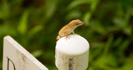 Lizard Looking over the Garden! by rickster549