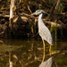 Yellow-Crowned Night-Heron!