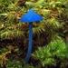Blue fungus by maureenpp
