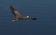 15th May 2017 - Heron in flight