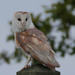 Barn Owl on Post by padlock
