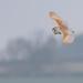 Barn Owl Slow Glide by padlock