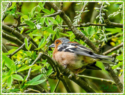 20th May 2017 - Chaffinch (male)