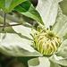 Guernsey Cream Clematis by gardencat