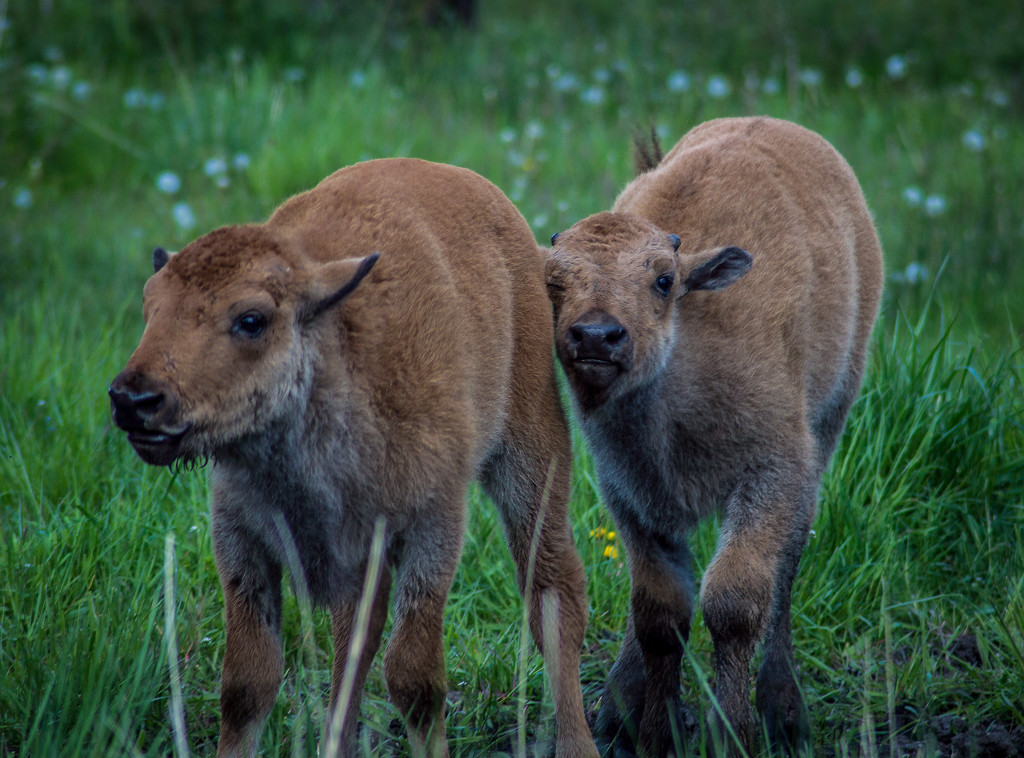 Bison Calves by 365karly1