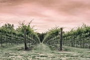 20th May 2017 - Battlefield Vineyards