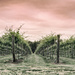 Battlefield Vineyards by tracys