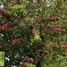Crataegus 'Paul's Scarlet'