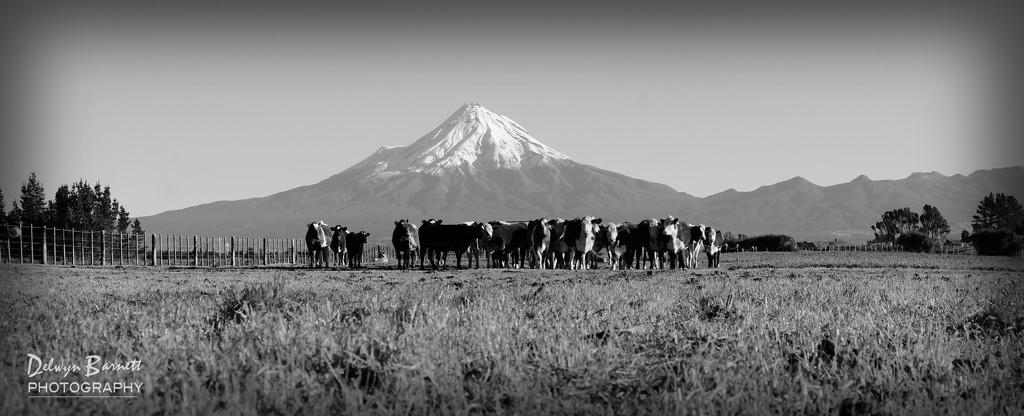 Black and white cows by dkbarnett