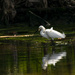 Snowy Egret After Lunch!
