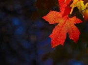 22nd May 2017 - Autumn leaf
