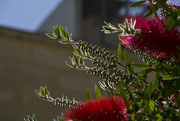 22nd May 2017 - EARLY MORNING BOTTLE BRUSH