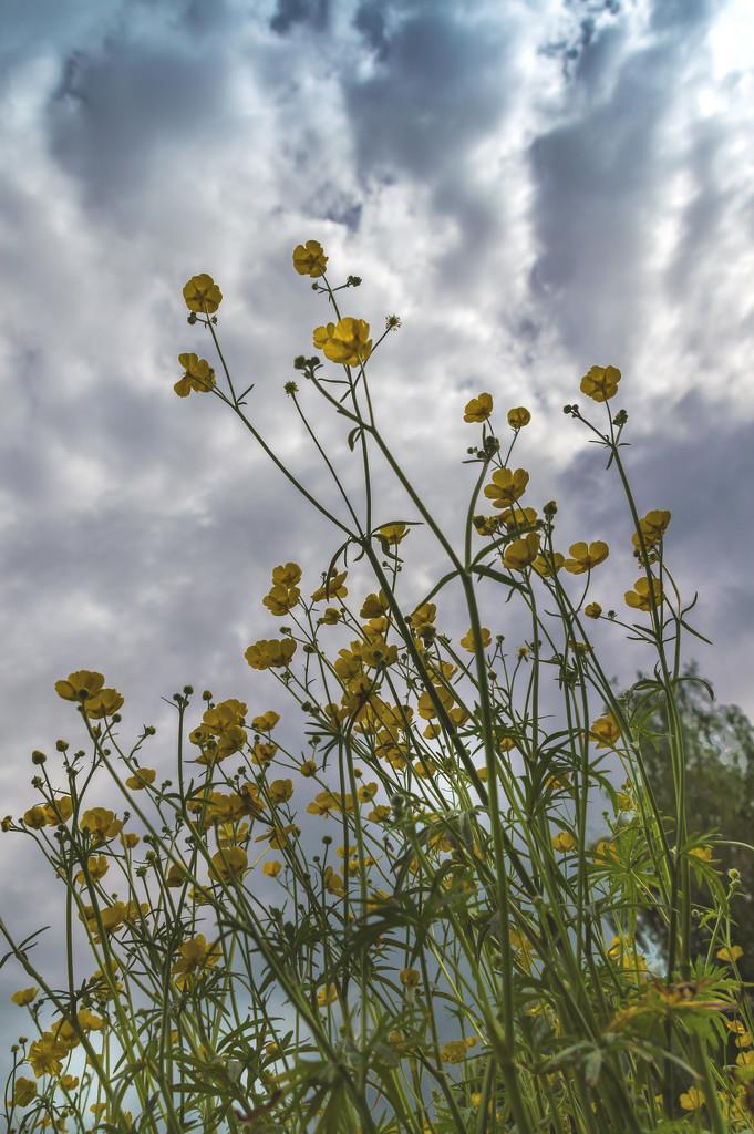 Buttercups in Peter's field by jon_lip