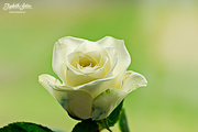 22nd May 2017 - White rose