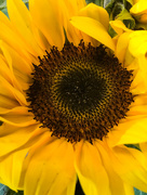 18th May 2017 - Sunflower