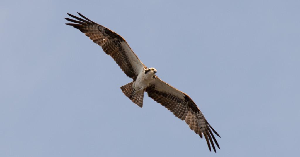 Osprey Cruising Overhead! by rickster549