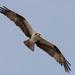 Osprey Cruising Overhead!
