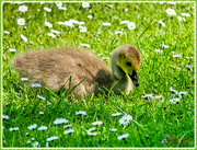23rd May 2017 - Gosling