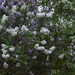 Our lilac trees