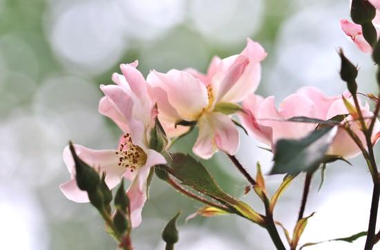 my new rose bush by lynnz