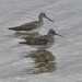 These are yellowlegs but they are in deep water and you can't see their legs.