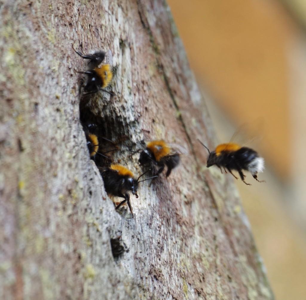 Bombus Hypnorum -Tree Bumblebee- Returning Home by 30pics4jackiesdiamond