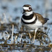 curious killdeer by mjalkotzy