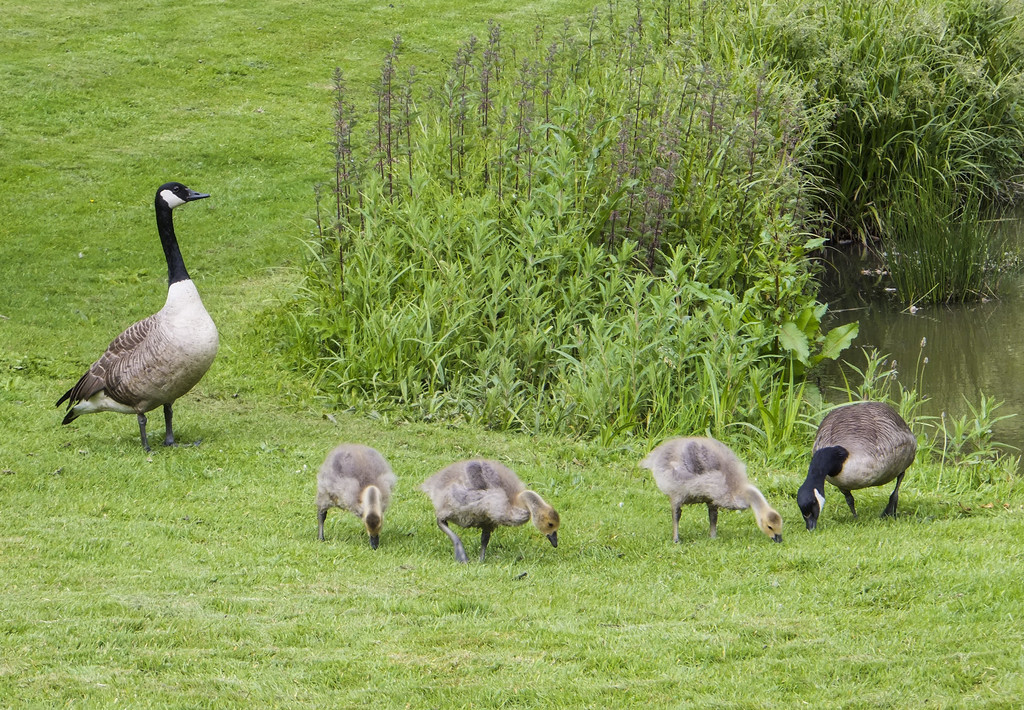 Canada geese and goslings (Tina's photo) by ivan