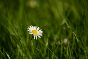 22nd May 2017 - Daisy