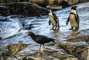 24th May 2017 - Penguins_in_Capetown_