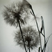 salsify plant seed head by randystreat