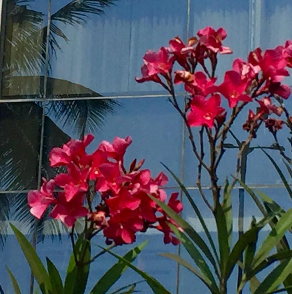 Oleander flowers by veengupta