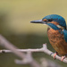 Young Male KIngfisher by padlock