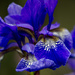 Blue Iris by megpicatilly
