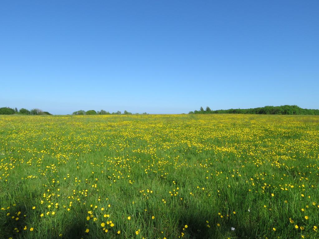 Buttercup field by m2016
