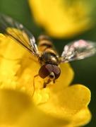 25th May 2017 - Wasp