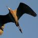 Lilttle Blue Heron in Flight!