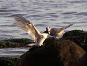 26th May 2017 - White fronted tern landing