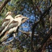 Kookaburras by landownunder