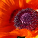 Poppy close-up by beryl