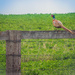 Male Pheasant on Fence